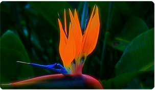 Photo of Bird of Paradise flower