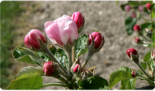 Photo of Buds flowering on an apple tree